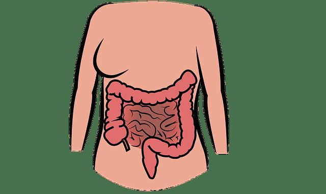 intestin du corps humain