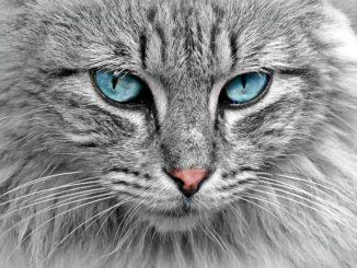 tete de chat qui miaule
