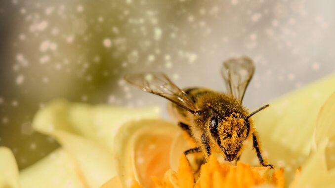 guepe sur du pollen